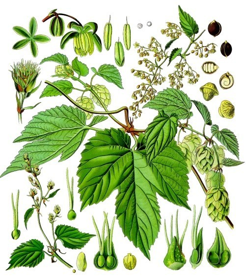 Хмель: лечебные свойства и противопоказания, применение в народной медицине